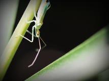 Macro d'un insecte d'assassin juvénile Photographie stock libre de droits