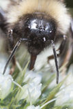 Macro d'une abeille de miel Image stock