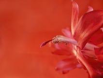 Macro d'une fleur de cactus de Noël Image stock