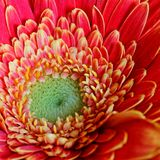 Macro d'une fleur orange de gerbera images stock