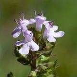 Macro d'une fleur sauvage : Thymus vulgaris Images libres de droits