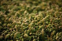 Macro d'usine conifére à feuilles persistantes Photographie stock