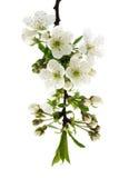 Macro da árvore de ameixa. fotografia de stock royalty free