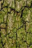 Macro da árvore de Linden com detalhes finos Fotografia de Stock Royalty Free