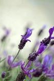 Macro da alfazema Imagens de Stock Royalty Free