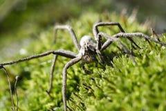 Macro da aranha Imagem de Stock
