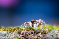 Macro da aranha de salto Hyllus Aranha em Tailândia imagens de stock royalty free