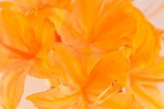 Macro da azálea da chama na flor Imagem de Stock Royalty Free