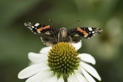 Macro da borboleta Fotos de Stock Royalty Free