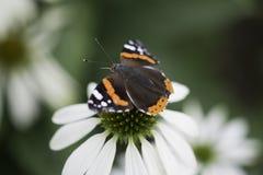 Macro da borboleta Fotografia de Stock