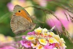 Macro da borboleta de Brown do prado imagem de stock