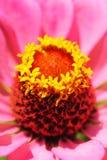 Macro da cabeça do zinnia com estame & o pistil amarelos foto de stock royalty free
