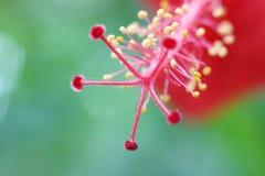 Macro da fêmea do homem e do pistilo do estame do hibiscus fotos de stock royalty free
