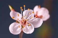 Macro da flor Foto de Stock Royalty Free