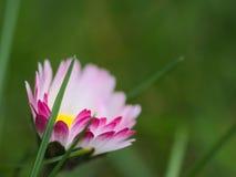 Macro da flor Imagens de Stock Royalty Free