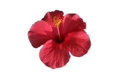Macro da flor alaranjada do hibiscus Foto de Stock