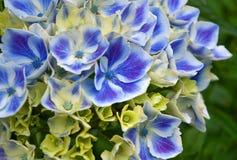 Macro da flor azul de Hydrandea do Harlequin imagens de stock royalty free