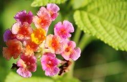 Macro da flor com gotas de água Fotografia de Stock Royalty Free