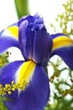 Macro da flor da íris Fotos de Stock Royalty Free