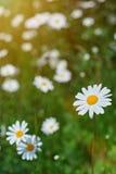 Macro da flor da camomila fotos de stock royalty free