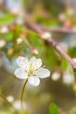 Macro da flor da cereja em um fundo blured Imagens de Stock Royalty Free