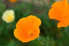 Macro da flor da papoila Fotografia de Stock