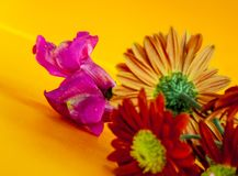 Macro da flor de Gerber imagem de stock royalty free