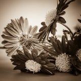 Macro da flor de Gerber imagens de stock royalty free