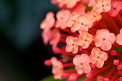 Macro da flor de Ixora imagem de stock royalty free