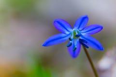 Macro da flor do bifolia de Scilla Imagens de Stock Royalty Free