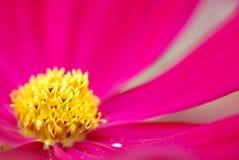 Macro da flor do cosmos Foto de Stock Royalty Free
