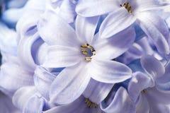 Macro da flor do jacinto da mola imagem de stock royalty free