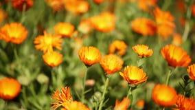 Macro da flor do suffruticosa do Calendula, Turquia vídeos de arquivo