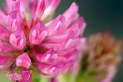 Macro da flor do trevo vermelho Imagens de Stock