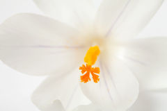 Macro da flor holandesa branca do açafrão da mola Fotografia de Stock