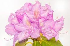 Macro da flor na flor completa No fundo branco Imagens de Stock
