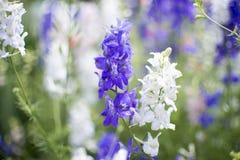 Macro da flor roxa e branca Fotos de Stock Royalty Free