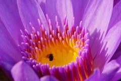 Macro da flor roxa macia do lírio de água da cor com pistilo Imagens de Stock