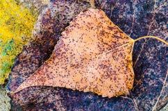 Macro da folha do outono Foto de Stock