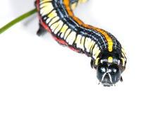 Macro da lagarta Foto de Stock Royalty Free