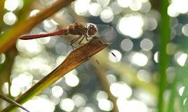 Macro da libélula fotos de stock