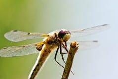 Macro da libélula Imagens de Stock