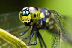 Macro da libélula Imagem de Stock Royalty Free