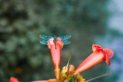 Macro da libélula na flor vermelha foto de stock royalty free