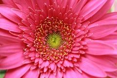 Macro da margarida de florescência cor-de-rosa do Gerbera Imagens de Stock