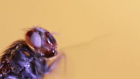 Macro da mosca video estoque