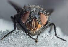 Macro da mosca da casa Imagens de Stock Royalty Free