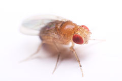Macro da mosca de fruta Imagens de Stock Royalty Free