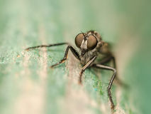 Macro da mosca de ladrão Fotos de Stock Royalty Free