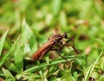 Macro da mosca de ladrão imagem de stock royalty free